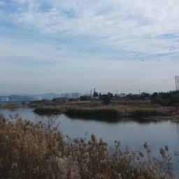 억새 구경하러 갔다 만난 청둥오리들 | 공릉천 가을 풍경