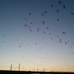 청둥오리들의 아침비행 | 공릉천 겨울 풍경