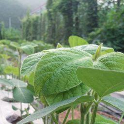 콩네알의 지혜가 필요한 마당밭 울타리 | 마당밭 아침 풍경
