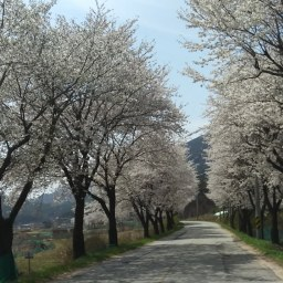 찻길따라 꽃길, 발길따라 꽃길 | 꽃길과 함께 봄날은 간다