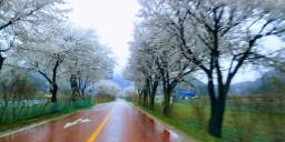 꽃비 내리는 봄날 | 청경우독
